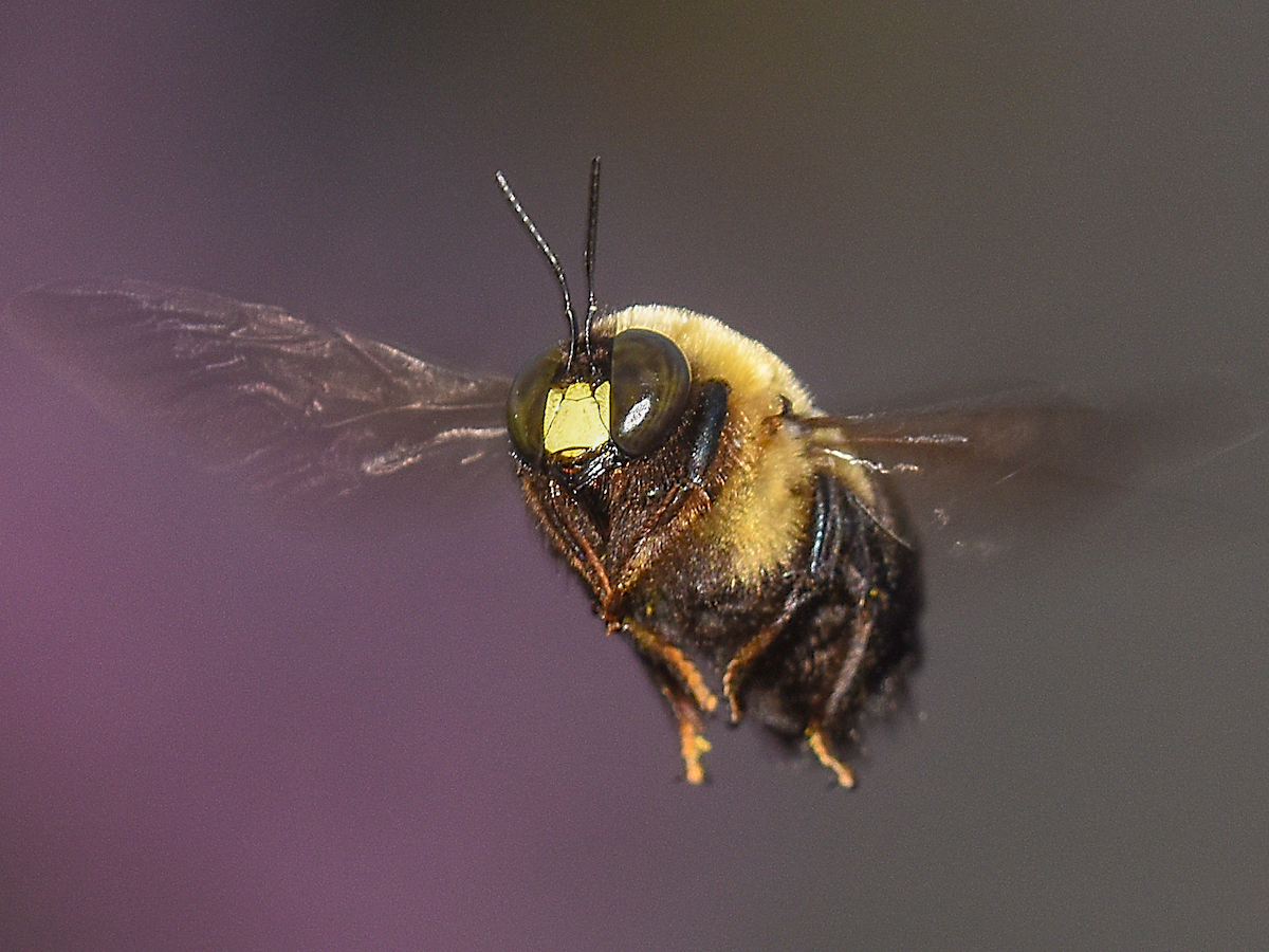 Black bee identification